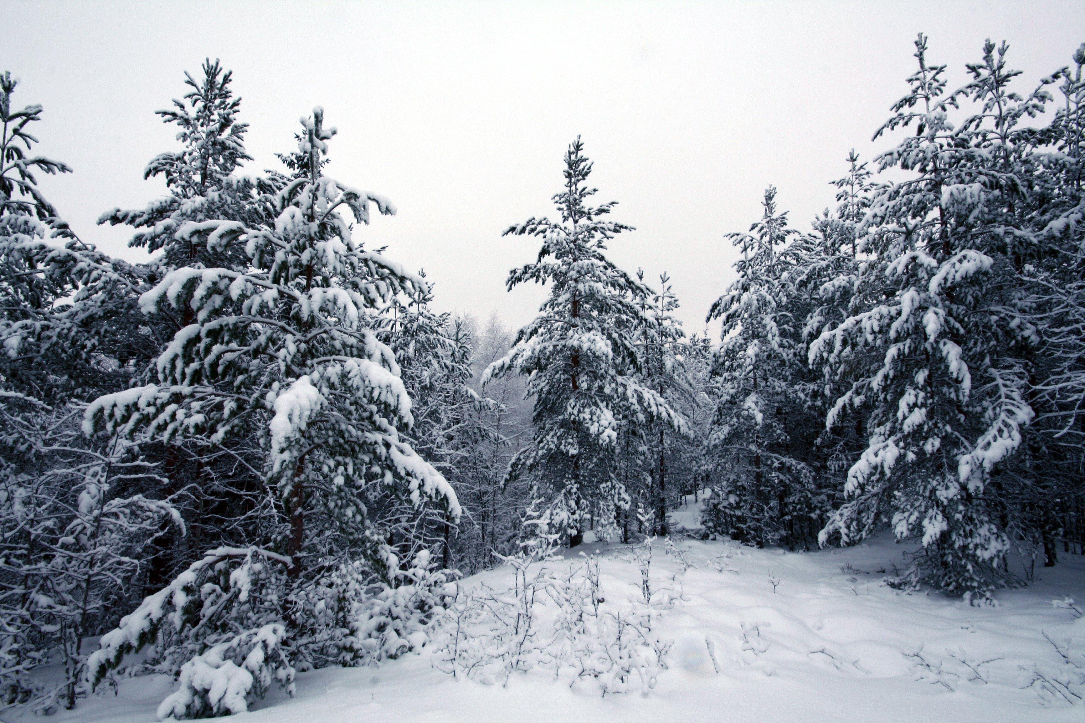 Зима деревья лес ели без смс