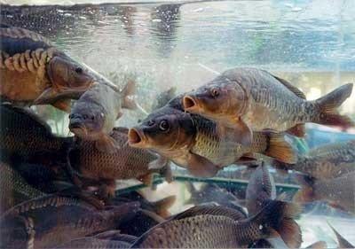 """Результат пошуку зображень за запитом розводили риби"""""""