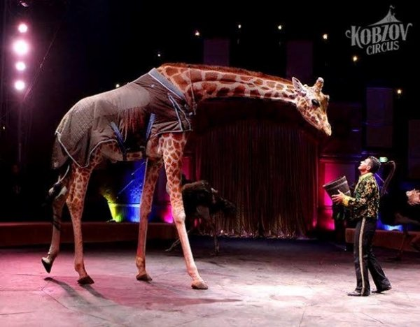 Уцирку «Кобзов», щовиступав у Рівному, померла жирафа