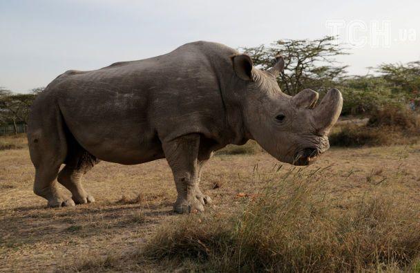 УКенії приспали останнього самця північного білого носорога