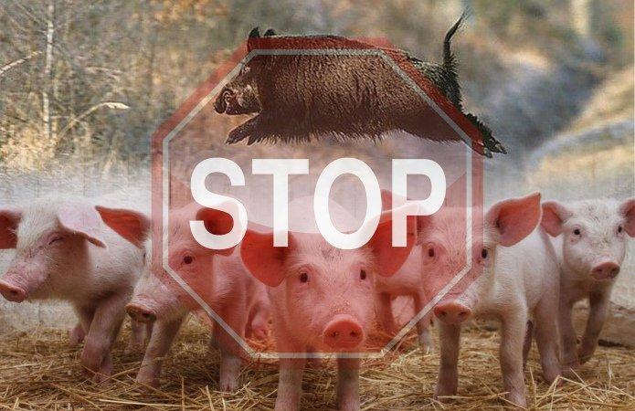 """Результат пошуку зображень за запитом """"африканську чуму свиней"""""""