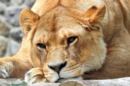 Купити лева – просто. Чому в Україні процвітає «заборонена» торгівля екзотичними тваринами