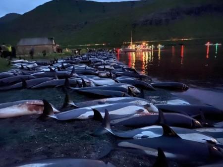 Вода стала червоною: жителі Фарерських островів вбили майже 1,5 тис. дельфінів - volynfeed.com